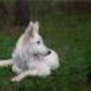 Продаются щенки редкой породы белая швейцарская овчарка